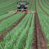 Weeding Onions July 2020