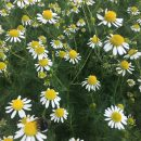 Our organic chamomile tea plants are now in full flower – we are very much looking forward to enjoying a 'cuppa' – very soon!