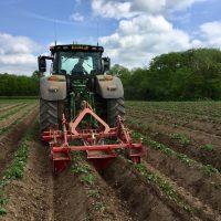Re-ridging/weeding potatoes.