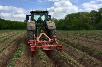 Re-ridging/weeding potatoes.