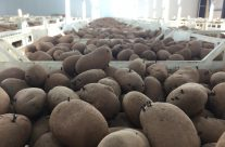 Organic Lady Balfour Seed Potatoes – Nicely chitting.