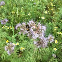 Our field margins are currentlty SWARMING with happy bumble bees, and a HOST of other excited insects!