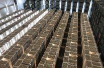 Chitting Seed Potatoes 2021