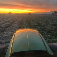 Laying straw on carrots November 2019 – photo courtesy of Jim